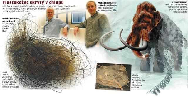 Přečtena většina genů mamuta