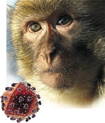 Lék na AIDS u opic zabral