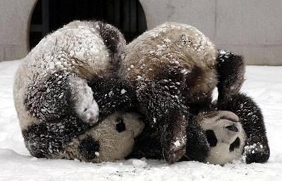 Čína poslala Tchaj-wanu pandy
