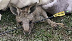 Mladý klokan přežil průstřel šípem