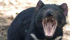 Tasmánský čert snad nevyhyne. Začal vzdorovat onemocnění, které ho ohrožovalo
