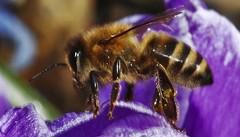 Českem se šíří včelí mor. Nárůst případů je desetinásobný, včelaři pálí úly