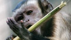 Lstivost není vlastní jen lidem i opice podvádějí své šéfy