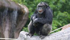 Šimpanzi umějí spolupracovat, ale jsou i sobečtí jako lidé