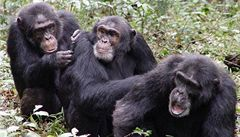 Šimpanzi se navzájem zabíjejí, aby rozšířili své teritorium