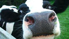 Naklonovaná kráva bude dojit 'mateřské mléko'