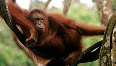 Smát se umějí i orangutani
