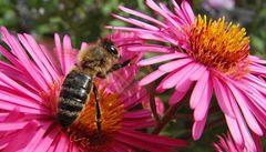 Evropa se bojí o včely, chce zabránit jejich vymírání