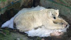 Brněnští lední medvědi dostali odměnu: automat na led