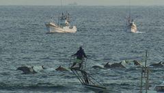 Japonští velrybáři reagují na snímek Zátoka: pustili na svobodu 70 delfínů