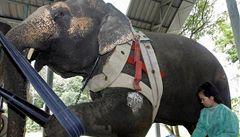 Thajská slonice si poškodila protézu, dostane ji zpět po opravě