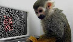 Opičáci po genové terapii poprvé vidí rudě