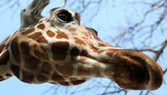 Brno přišlo o svého jediného žirafáka