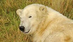 Britský lední medvěd přestěhován na sever. Kvůli klimatu