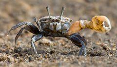 Krab houslista ochraňuje sousedku. Za odměnu má sex