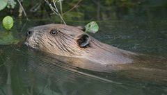 V Bělorusku řádí bobři. Úřady je chtějí zredukovat až o polovinu