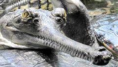 V pražské zoo uhynula samice vzácného krokodýla gaviála indického