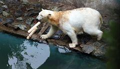 Lední medvědice Cora z brněnské ZOO sežrala obě svá mláďata