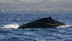 Záchranáři se snaží vyprostit mládě velryby zamotané do provazů