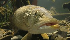 Proti zarostlým rybníkům pomohou nejlépe štiky a okouni