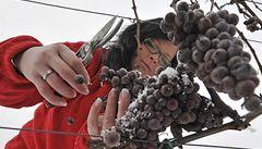 Ledové víno letos nakonec bude. Vinaři se dočkali velkých mrazů