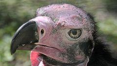 Škaredí ptačí samci mají smůlu, hrozí jim staromládenectví