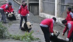 Mláďata pandy velké míří do Šanghaje. Vystaví je na Expo 2010