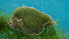Zčásti zvíře, zčásti rostlina: plž, který zvládl fotosyntézu