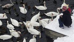 Dobrovolníci sčítají vodní ptáky, nejvíce je kachen a hus