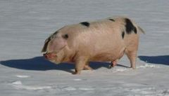 Vědci zasypali prasata sněhem. Teď je zažalovali ochránci zvířat