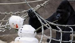 Gorily v pražské zoo pobavil sněhulák