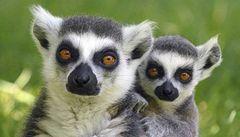 Savci na Madagaskar dopluli. Mohly jim stačit tři týdny