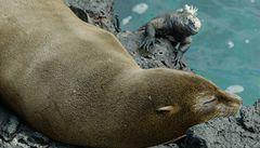 Lachtani galapážští se kvůli oteplení odstěhovali z Galapág