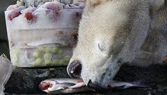 Medvěda Knuta zabil epileptický záchvat