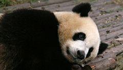 Panda v Číně změnila jídelníček, ukradla prasatům maso s kostmi