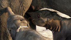 V Thajsku se narodila první samčí dvojčata slona na světě