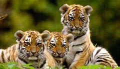 Počet amurských tygrů v Rusku rychle klesá, zjistili experti