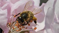 Pesticidy 'zkratují' včelí mozek, zjistila nová studie