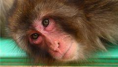 Velkorysá opice rozhazovala v indickém městě peníze