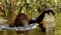 Mizerný plavec orangutan překonal strach a pářil se přímo ve vodě