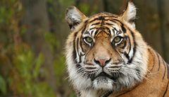 Muž v newyorské zoo vlezl k tygrům, skončil s vážnými zraněními