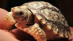 Zlínská zoo odchovala jako první zahrada v Evropě želvu chilskou