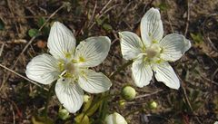Milovníci květin letos Rostlinou roku vybrali toliji bahenní