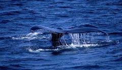 Velrybí trus pomáhá v boji proti globálnímu oteplování, tvrdí vědci