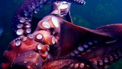 Chobotnice sebrala potápěči kameru a natáčela dál