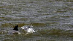 Vědci viní ropný únik ze smrti delfínů v Mexickém zálivu