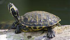 Varšava se potýká s invazí exotických a žravých želv nádherných