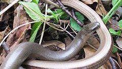 Na celém světě ubývají hadi. Zatím se neví proč