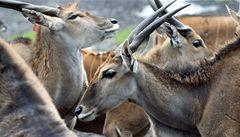 Maso antilop je křehké a dietní. Chutí se podobá hovězímu