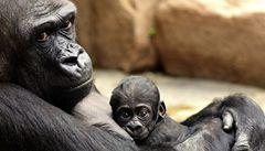 Gorila Kijivu z pražské zoo porodila mládě, je to její čtvrté